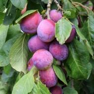 Plum - Prunus Domestica Opal - Patio Pillar Fruit Tree