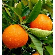 Large 80-100cms Citrus Tree - ORANGE - for tasty fresh fruit and Juice