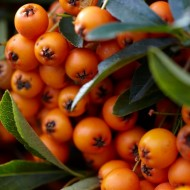 Pyracantha Orange Charmer - Firethorn - LARGE Approx 6ft Hedging Pyracantha