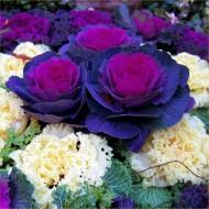 Ornamental Brassica Cabbage - Purple