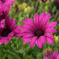 Osteospermum Tresco Purple - Cape Daisy