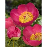 Paeonia lactiflora 'Flame' - Large Flowered Herbaceous Peony
