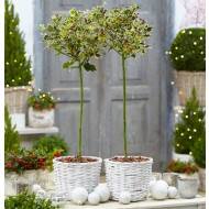 PAIR of Festive Patio Holly Trees 'Argentea Varigata' with Planter Baskets