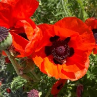 Papaver orientale 'Allegro' - Brilliant Orange-Red Oriental Poppy