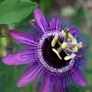 Passion Flower Purple Haze - Passiflora
