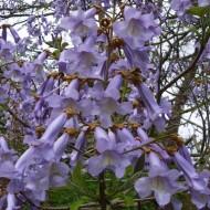 Paulownia tomentosa - Empress or Foxglove Tree