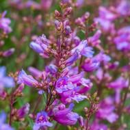 Penstemon Catherine de la Mare - Blue Penstemon Plant