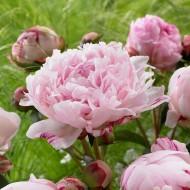 Perfumed Peony - Paeonia Sarah Bernhardt - Peony Sarah Bernhardt - Pack of FIVE