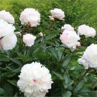 Paeonia lactiflora Shirley Temple - Classic White Peony