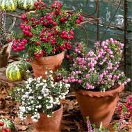 Pernettya mucronata Evergreen Prickly Heath Berry Plants - Pack of THREE Plants in Berry