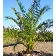 XXL Giant Phoenix canariensis - Canary Island Date Palm - LARGE 6-7ft PATIO PALM TREES 170-200cms