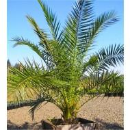 XXXL Giant Phoenix canariensis - Canary Island Date Palm - EXTRA LARGE PATIO PALM TREES 220-290cm