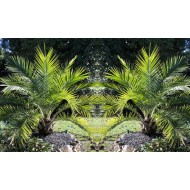 Pair of 1.2m Canary Island Phoenix Date Palms - Perfect for Patio Planters