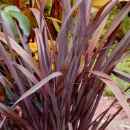 Phormium Special Red - New Zealand Flax