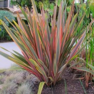 Phormium Sundowner - New Zealand Flax