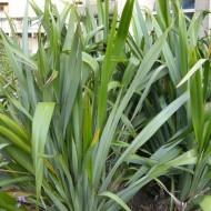Phormium tenax - New Zealand Flax