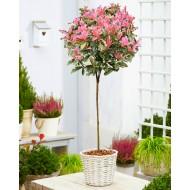 Hardy Evergreen Photinia serratifolia PINK CRISPY 90-120cm (3-4ft) Standard Topiary Tree