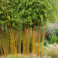 Phyllostachys aurea aureocaulis - Yellow-Groove Bamboo - 180-200cm