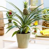 Ananas - Indoor Pineapple Plant