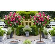 Pair of Standard PINK Flowering PATIO Rose Trees