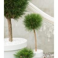 Pinus Summer Breeze - Patio Tree