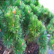 Pinus mugo - Dwarf Mountain Pine