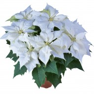 Large White Poinsettia 'Alaska' - The Essential Christmas Plant - In White!