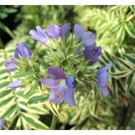Polemonium caeruleum Brise d'Anjou