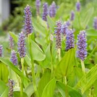 Pontederia cordata - Pickerel weed