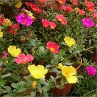 Portulaca umbraticola - Purslane - Flowering Succulent Plant