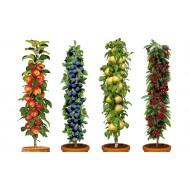 PRE-ORDER: Four Pot Grown Dwarf Patio PILLAR Fruit Trees Mini Orchard