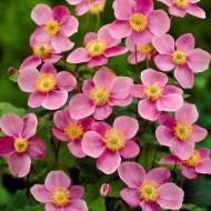 Anemone hupehensis Praecox - Windflower