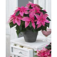 Large Hot Pink Princettia Poinsettia Plant
