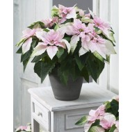 Lovely Pearl Blush Princettia - Large Poinsettia Plant