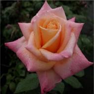 Rose Pure Delight - Bush Rose