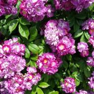 Rambling Rose Perennial Blue