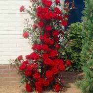 Large 6-7ft Specimen - Climbing Red Rose - Musimara