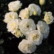 Rose Wedding Rose - Shrub Rose