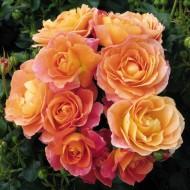 Rose Bonfire - Floribunda Shrub Rose