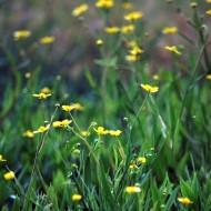 Ranunculus flammula - Lesser Spearwort