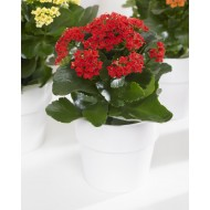 Red Kalanchoe Flaming Katy Plant in Bud & Bursting in to Bloom in White Pot