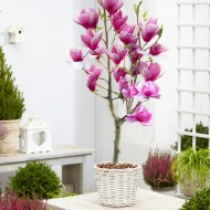 Magnolia RED LUCKY - Tulip Tree PATIO STANDARD