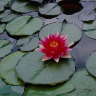 Complete Water Plant Pond Kit - Red Water Lily - Nymphaea