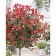 Photinia ''Little Red Robin'' - Evergreen - Large Standard 130-160cm
