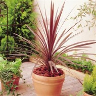 Patio Palm - Purple-Red Star Class Tower Cordylines - Ideal centre piece for Patio Planters
