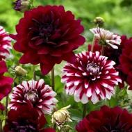 Dahlia Decorative Red / Red-White Designer Mix - Pack of THREE