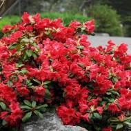 Rhododendron Scarlet Wonder - Dwarf Evergreen Rhododendron