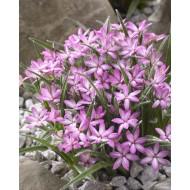 Rhodohypoxis Twinkle Stars - PINK - Star Grass Rhodoxis