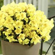 Rhododendron Wren - Dwarf Yellow Rhododendron