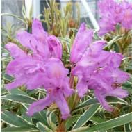 Rhododendron Ponticum Variegatum - Compact Evergreen Shrub